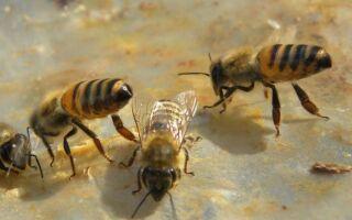 Гнездо пчел дома: что с ним делать