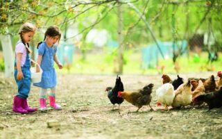 Нагрев куриного дома и разведение мясной птицы